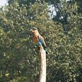Indian Roller. Coracias benghalensis. - Flickr - gailhampshire.jpg