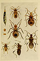 Indian insect life (Plate LXXV) (6279526497).jpg