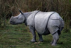 Indian rhinoceros,kaziranga national park.jpg