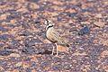 Inland Dotterel (Peltohyas australis) (8079587660).jpg