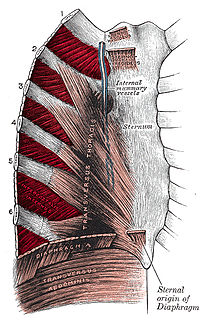 Intercostal muscle