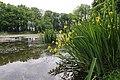 Iris pseudacorus TK 2021-06-06 3.jpg