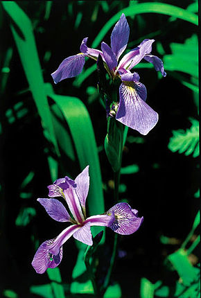 Description de l'image  Iris versicolor quebec 0.jpg.