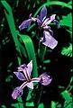 Iris versicolor quebec 0.jpg