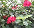 Ixora coccinea- VIRUCHI-flowers-Tamil Nadu.jpg