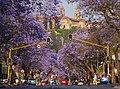 Jacaranda Trees Pretoria.jpg