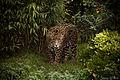 Jaguar (14846494975).jpg