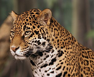 Polymorphism (biology) - Light-morph jaguar