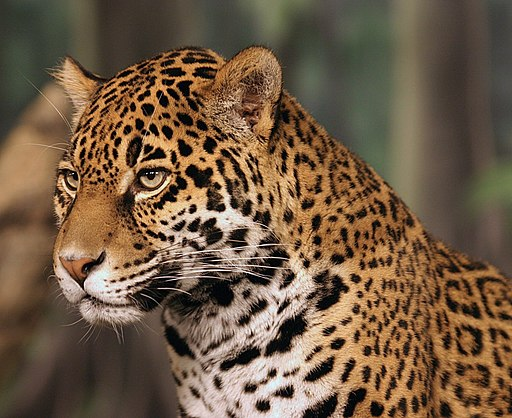 Jaguar head shot