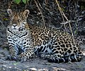 Jaguar in Pantanal Brazil 2 (cropped).jpg