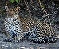 Jaguar in Pantanal Brazil 2 (cropped).jpg