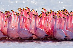 James's Flamingo mating ritual.jpg