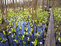 Japanese skunk cabbage - panoramio - tsushima.jpg