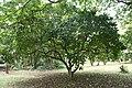 Jatropha Pandurifolia - 01.jpg