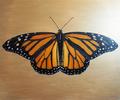 Jesse Waugh - Monarch Danaus plexippus.png