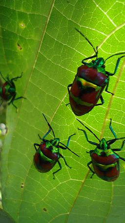 Jewel bugs on a Gmelina arborea leaf