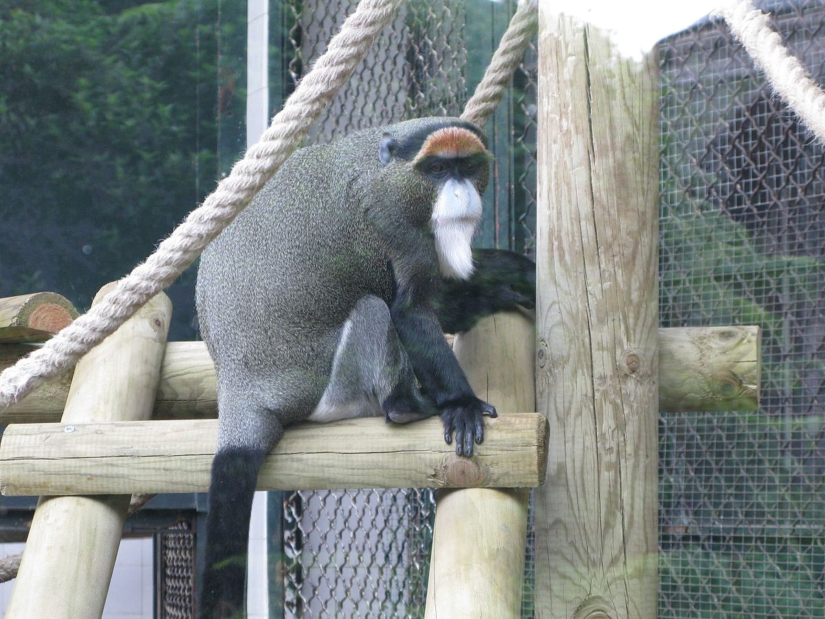 De Brazza S Monkey Wikipedia