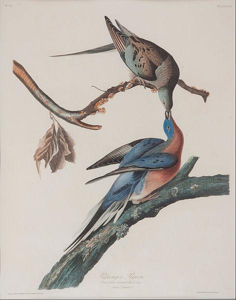 John Audubon's passenger pigeon