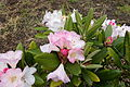 John McLaren Memorial Rhododendron Dell - Golden Gate Park, San Francisco, CA - DSC05372.JPG