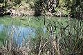 Jordan River and Reeds - Outside Tiberias - Galilee - Israel (5710005735).jpg
