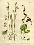 Joseph Dalton Hooker - Flora Antarctica - vol. 3 pt. 2 plate 106 (1860).jpg