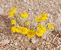 Joshua Tree National Park flowers - Eriophyllum wallacei - 2.JPG