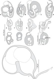 <i>Pseudorhabdosynochus riouxi</i> Species of worm