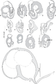 Journal.pone.0171392.g002 - Pseudorhabdosynochus riouxi from Mycteroperca marginata.png