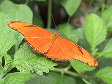 Julia-heliconian-butterfly.jpg