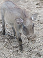 Junges-Warzenschwein-Zoo-Muenster-2013.jpg
