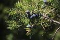 Juniperus communis, Slapovi Sopotnice, Srbija (10).jpg