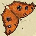 Junonia almana dry season illustration.jpg