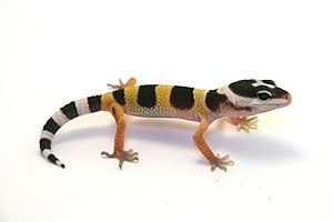 English: A juvenile leopard gecko