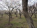 Kairaku-en plum tree forest.jpg