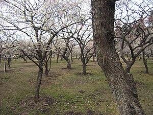 Mito Domain - Kairaku-en plum tree garden
