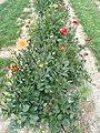 Kaktus-Dahlie 'Karma Red Corona'.JPG