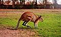 Kangaroos (59385056).jpeg