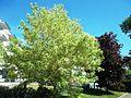 Kaunid puud Pärnus.JPG