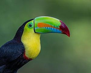 Keel-billed toucan - Keel-billed toucan in Costa Rica
