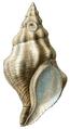 Kelletia kelletii shell.png