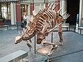 Kentrosaurus skeleton.jpg
