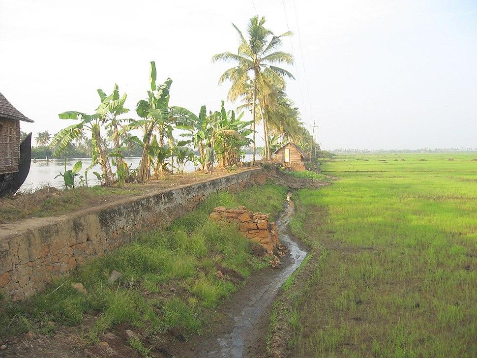 Kerala Backwaters Kuttanad Paddy fields