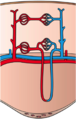 Kidney Blood Circulation.png