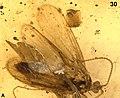 Kinitocelis brevicostata holotype Fig30 A.jpg