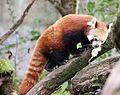 Kleiner Panda Tierpark Hellabrunn-10.jpg