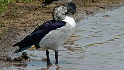 Knob-billed Duck (Sarkidiornis melanotos), Kruger NP, South Africa 2.jpg