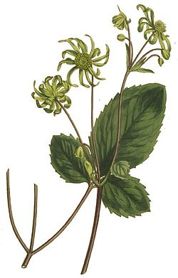 Knowltonia vesicatoria.jpg