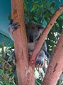 Koala Bear at Australia Zoo, February 2014.jpeg