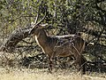 Kobus ellipsyprimus, male (Livingstone, Zambia).jpg