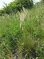 Koeleria macrantha sl1.jpg